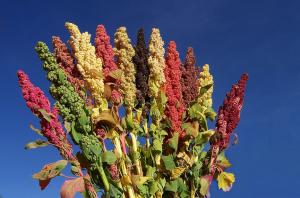 Verschillende soorten Quinoa